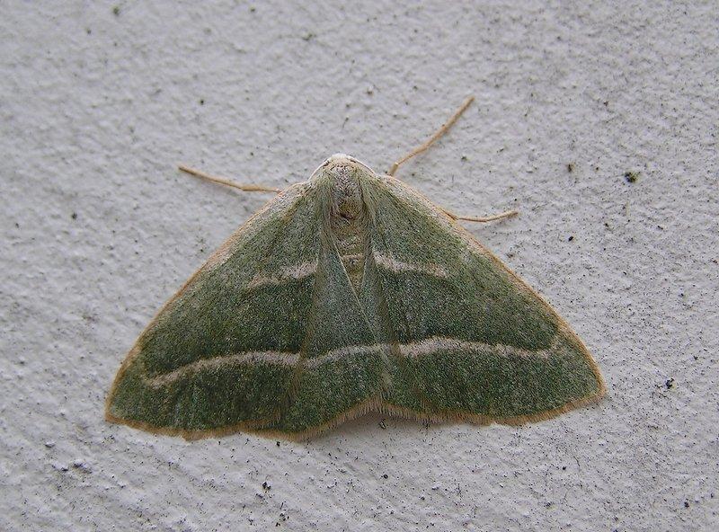 Foto/billede af Nåleskovs-Måler (Hylaea fasciaria)