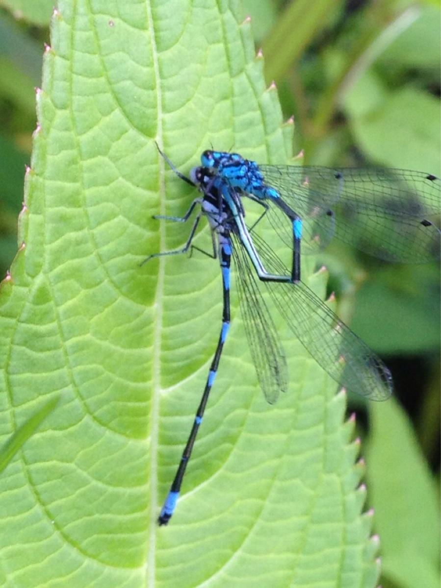 Flagermus-Vandnymfe (Coenagrion pulchellum)