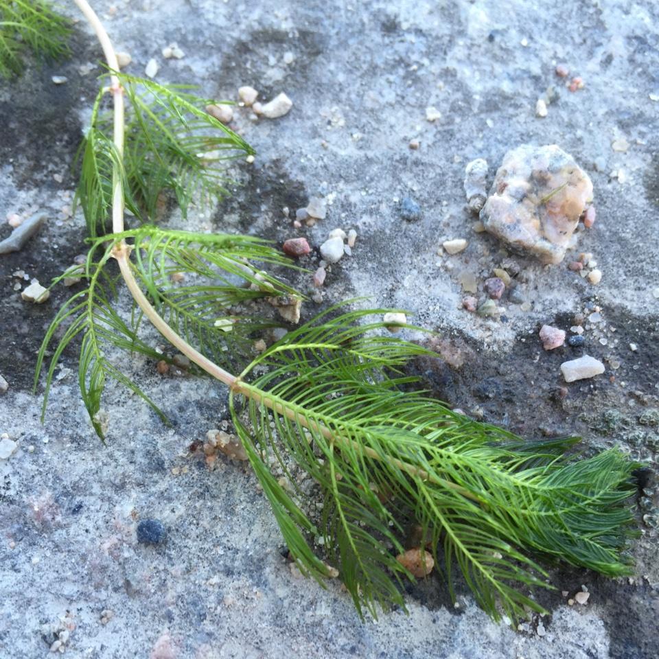 Foto/billede af Aks-tusindblad (Myriophyllum spicatum)