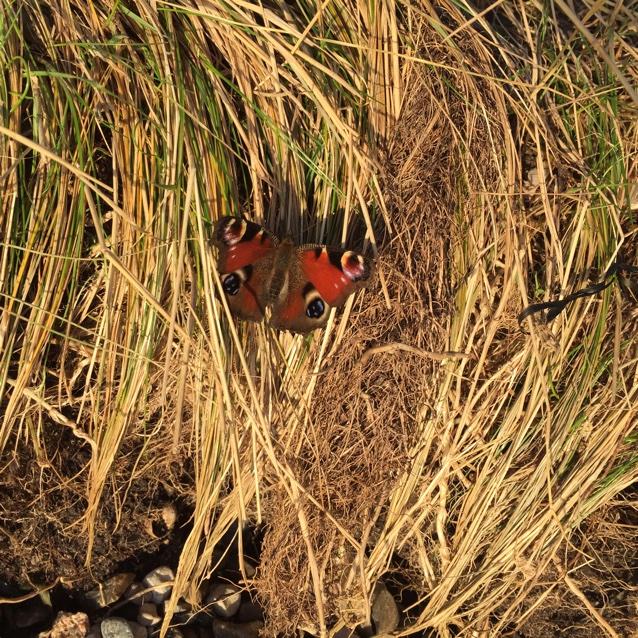 Dagpåfugleøje (Aglais io)