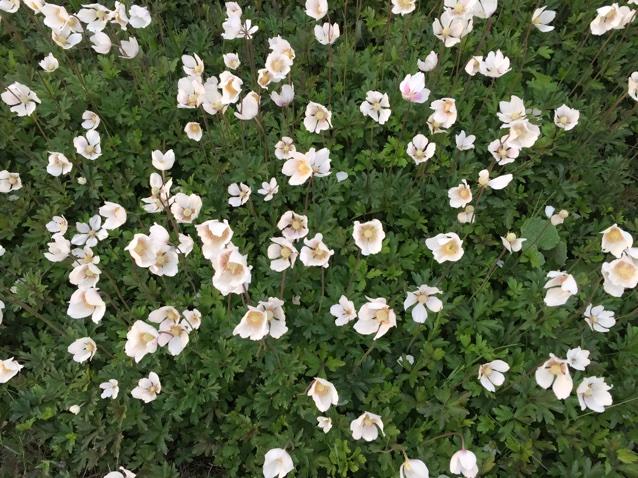 Foto/billede af Sommer-Anemone (Anemone sylvestris)