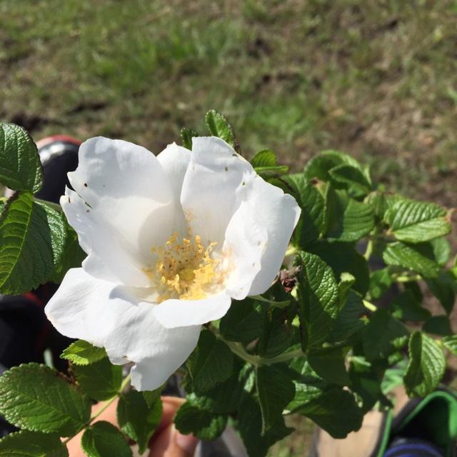 Foto/billede af Rynket rose (Rosa rugosa)