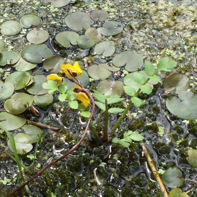 Foto/billede af Almindelig bl�rerod (Utricularia vulgaris)