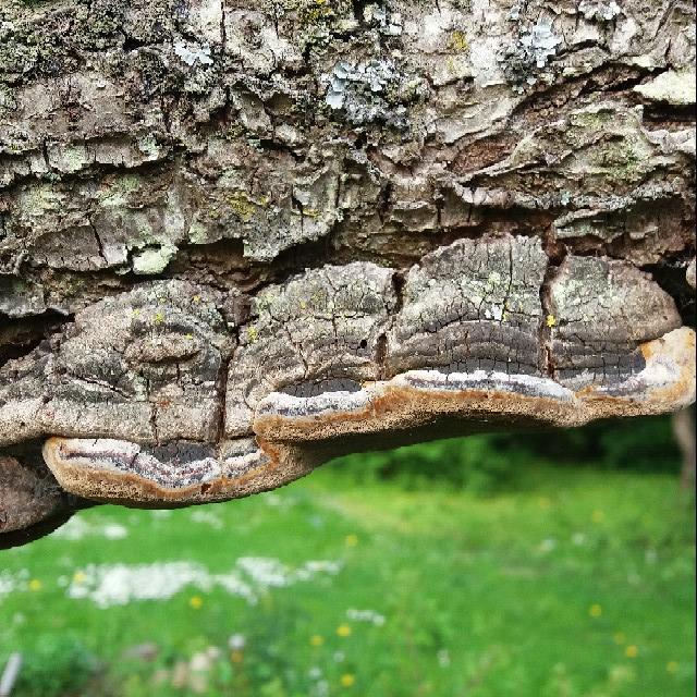 Foto/billede af Blomme-Ildporesvamp (Phellinus pomaceus)