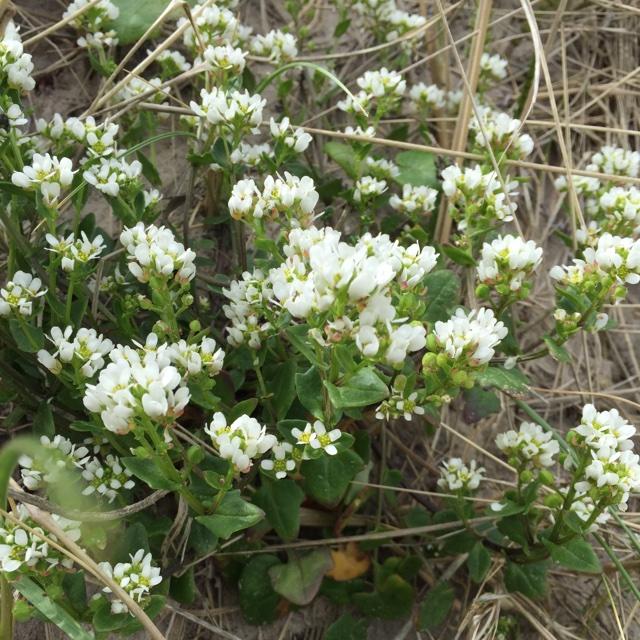 Foto/billede af Læge-kokleare (Cochlearia officinalis ssp. officinalis)
