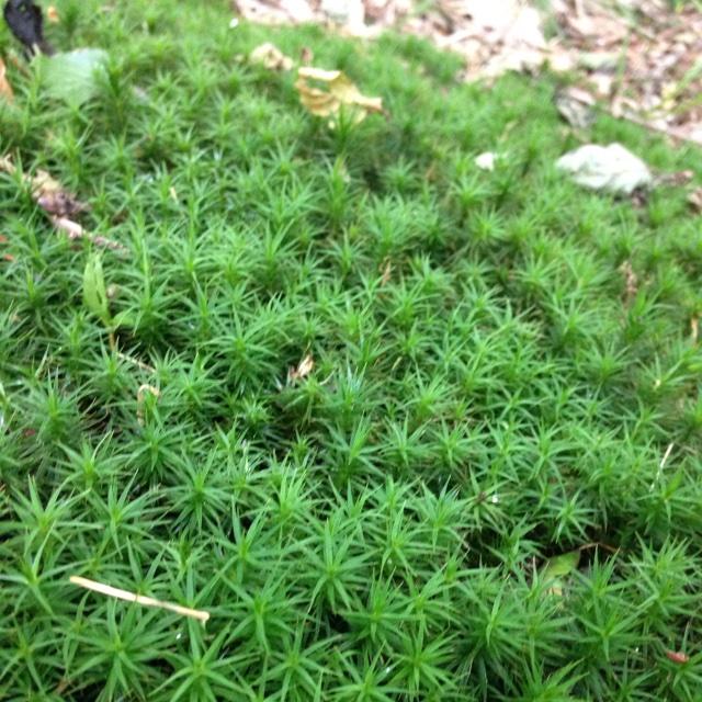 Foto/billede af Skov-Jomfrukapsel (Polytrichastrum formosum)