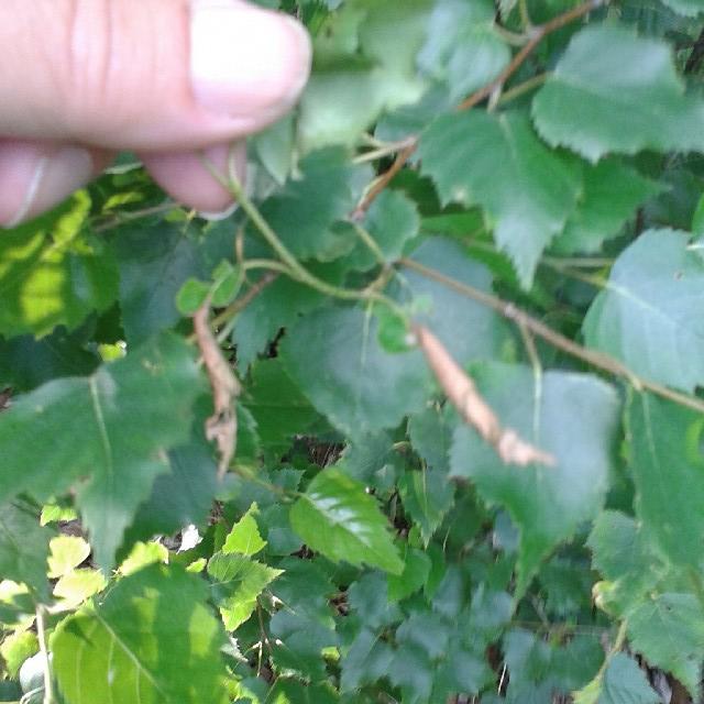 Foto/billede af Birkebladruller (Deporaus betulae)