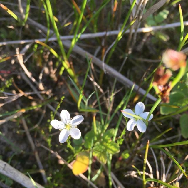 Foto/billede af Knude-Firling (coll.) (Sagina nodosa (coll.))