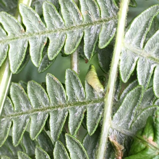 Foto/billede af Dasineura pteridicola (Dasineura pteridicola)
