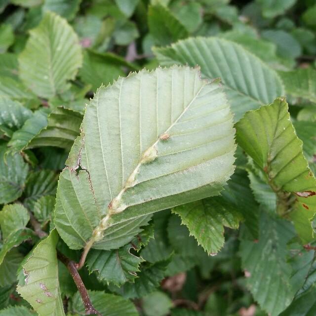 Zygiobia carpini
