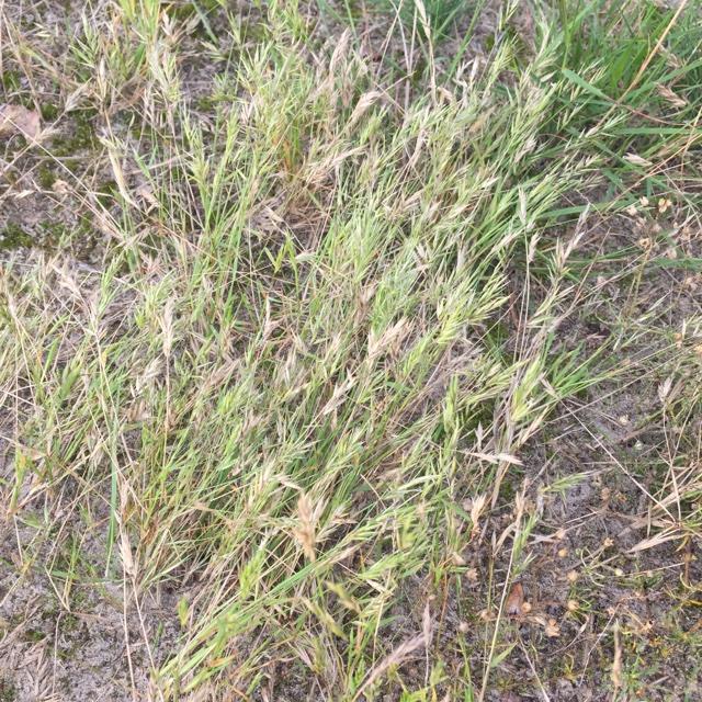 Enårig Gulaks (Anthoxanthum aristatum)