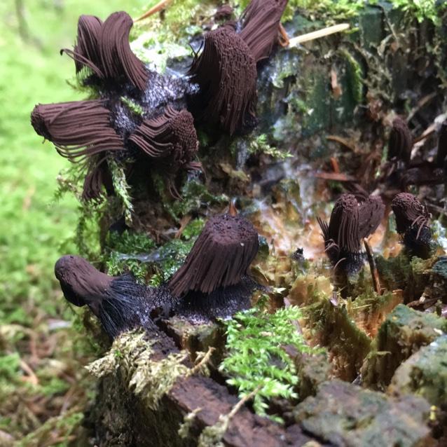 Foto/billede af Stemonitis sp. (Stemonitis sp.)