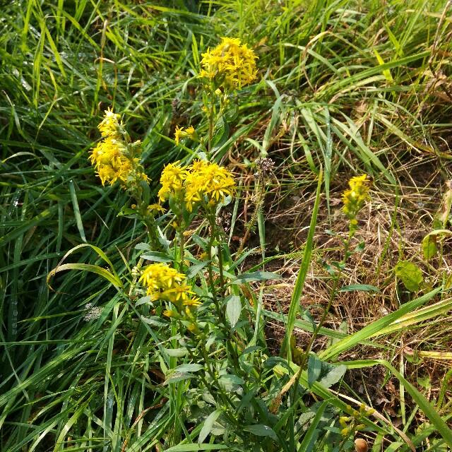 Foto/billede af Almindelig gyldenris (Solidago virgaurea)