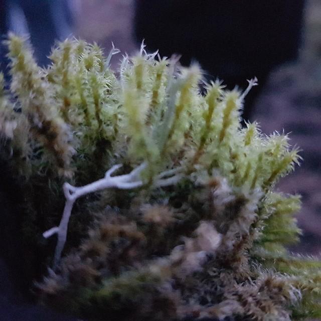Foto/billede af Tætgrenet Børstemos (Racomitrium ericoides)