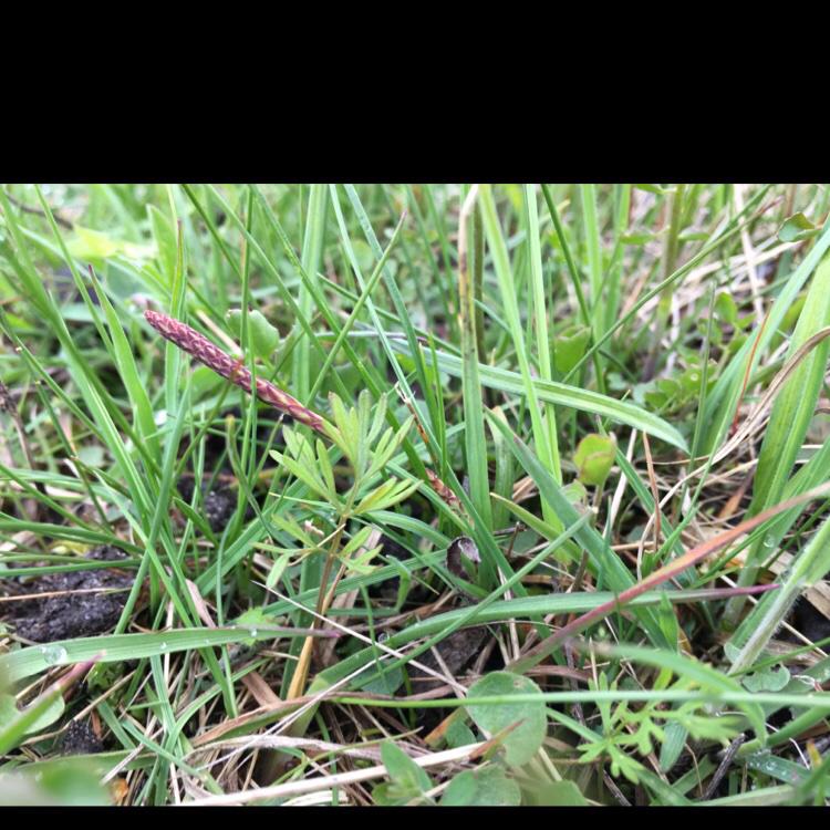 Foto/billede af Brændeskærm (Selinum dubium)