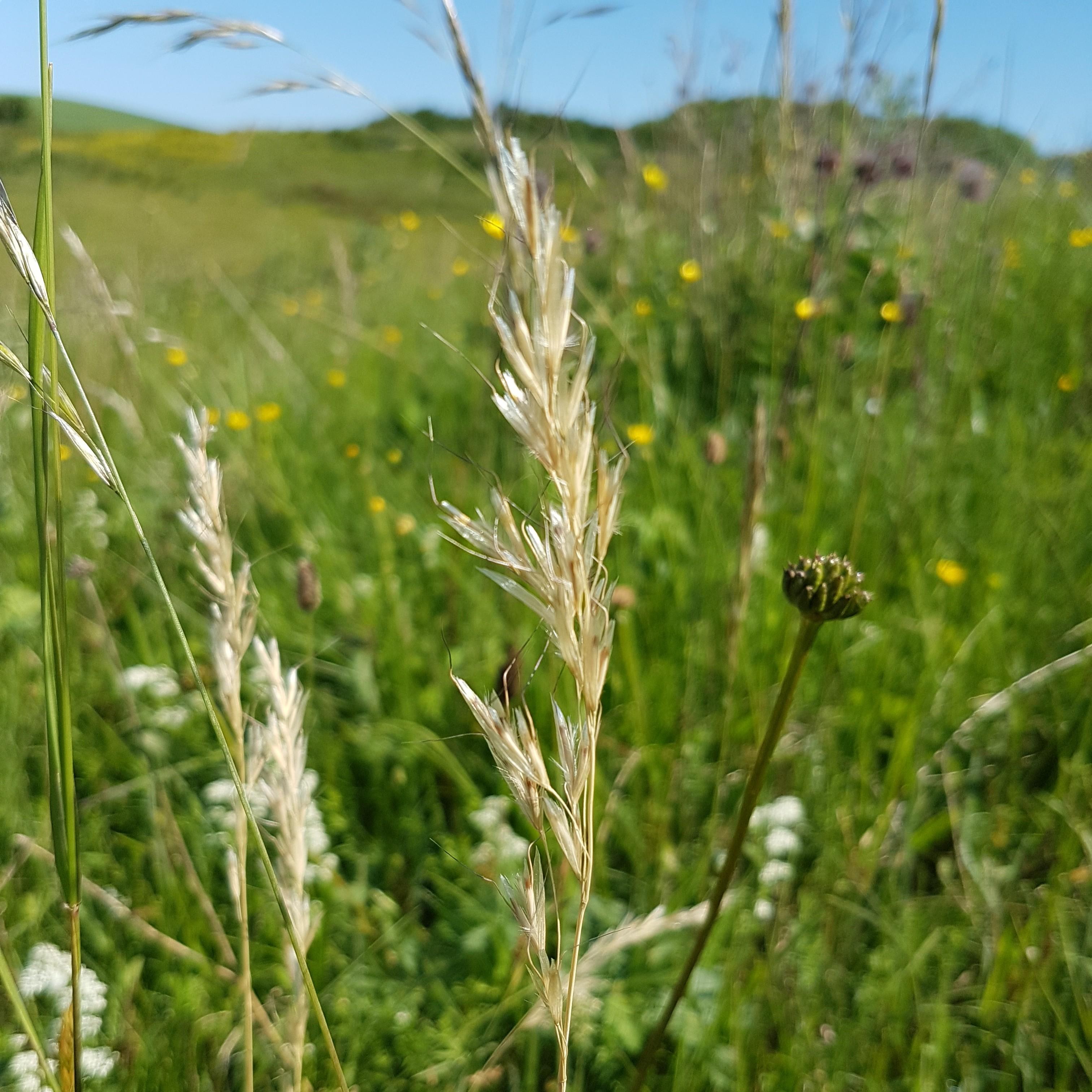 Foto/billede af Dunet Havre (Helictotrichon pubescens)