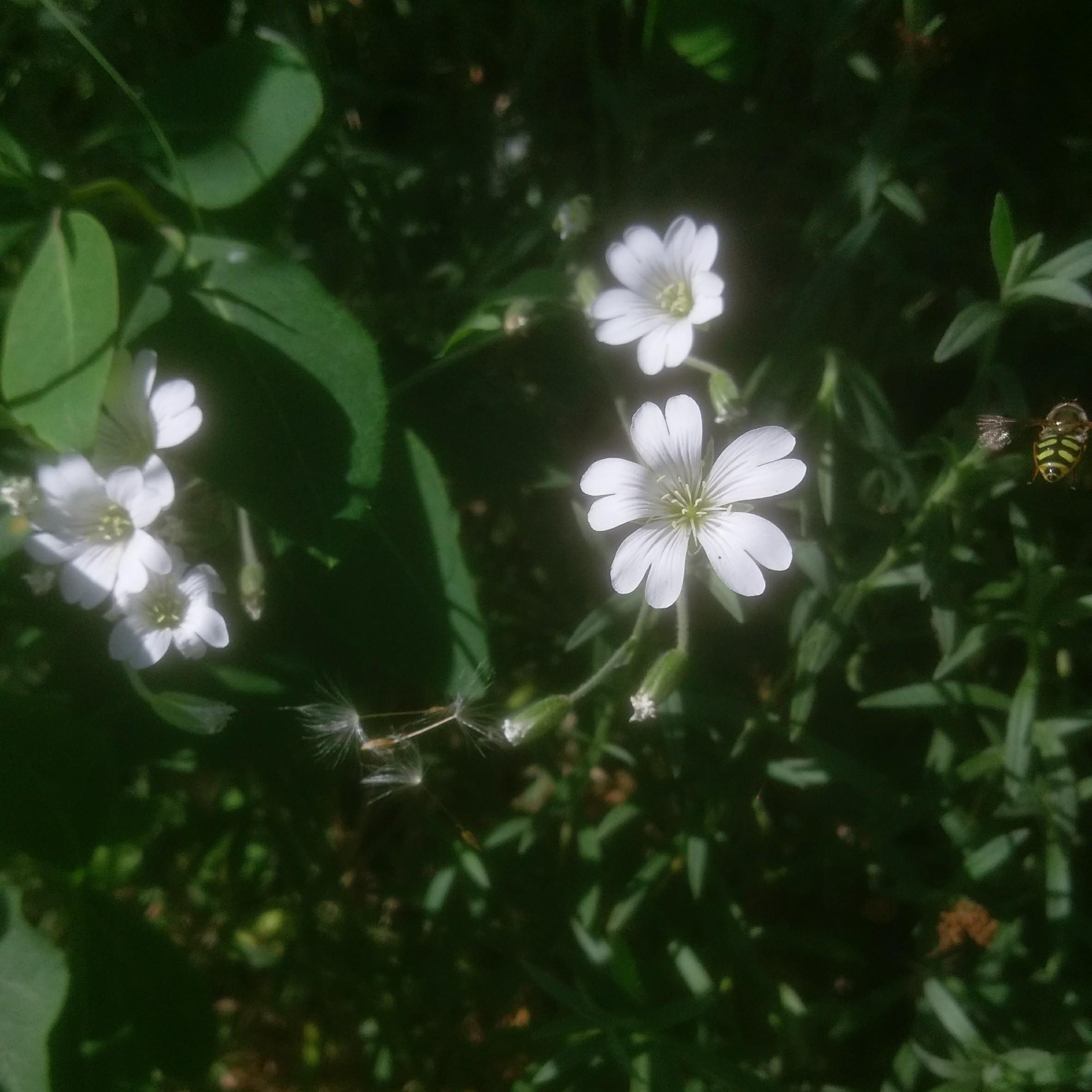 Foto/billede af Storblomstret Hønsetarm (Cerastium arvense)