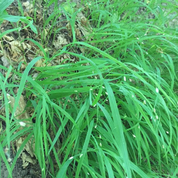 Foto/billede af Enblomstret Flitteraks (Melica uniflora)