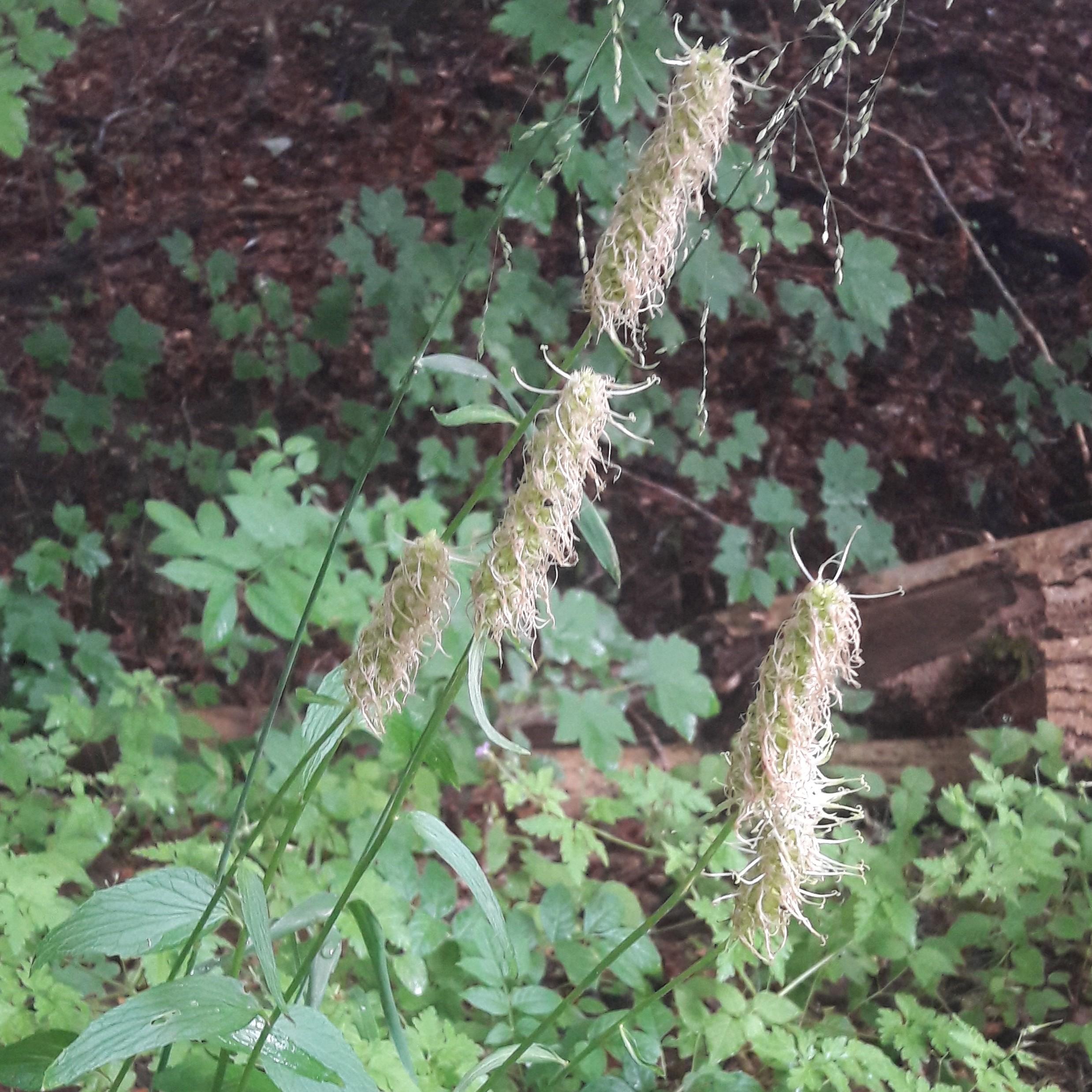 Foto/billede af Aks-Rapunsel (Phyteuma spicatum)