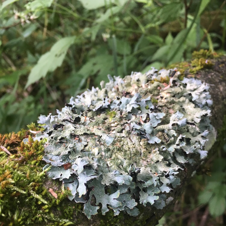 Foto/billede af Rynket Skållav (Parmelia sulcata)
