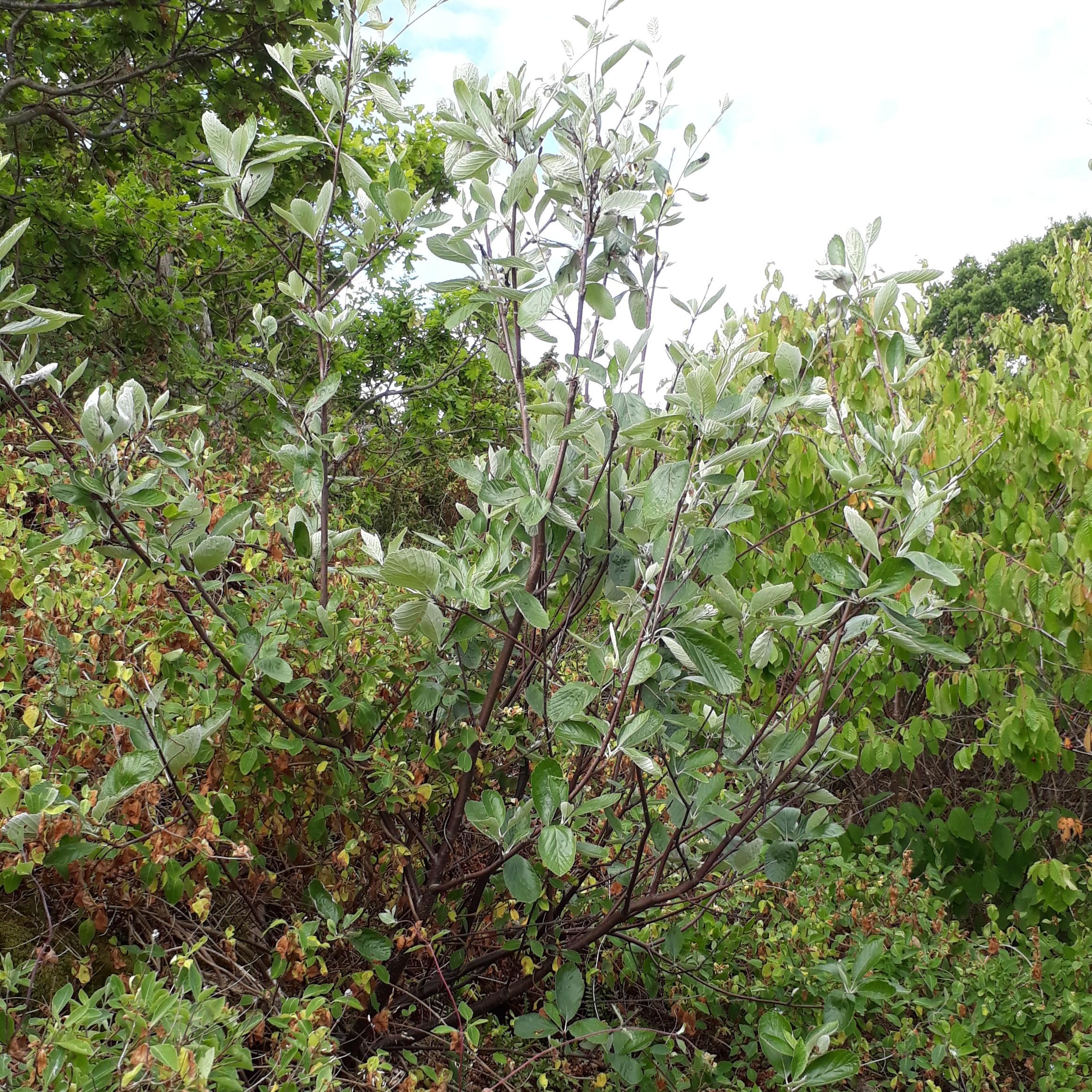 Foto/billede af Klippe-Røn (Sorbus rupicola)