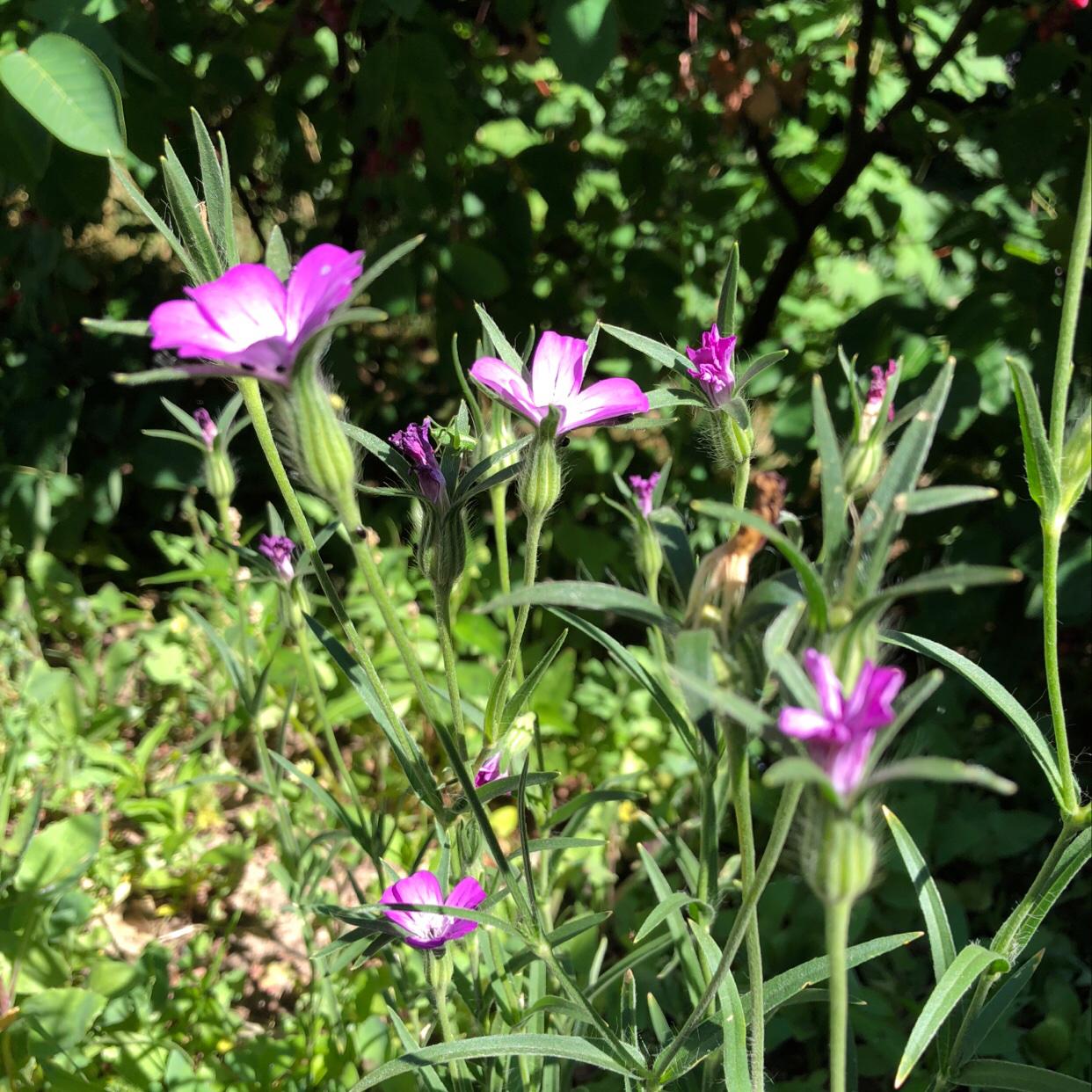 Foto/billede af Klinte (Agrostemma githago)