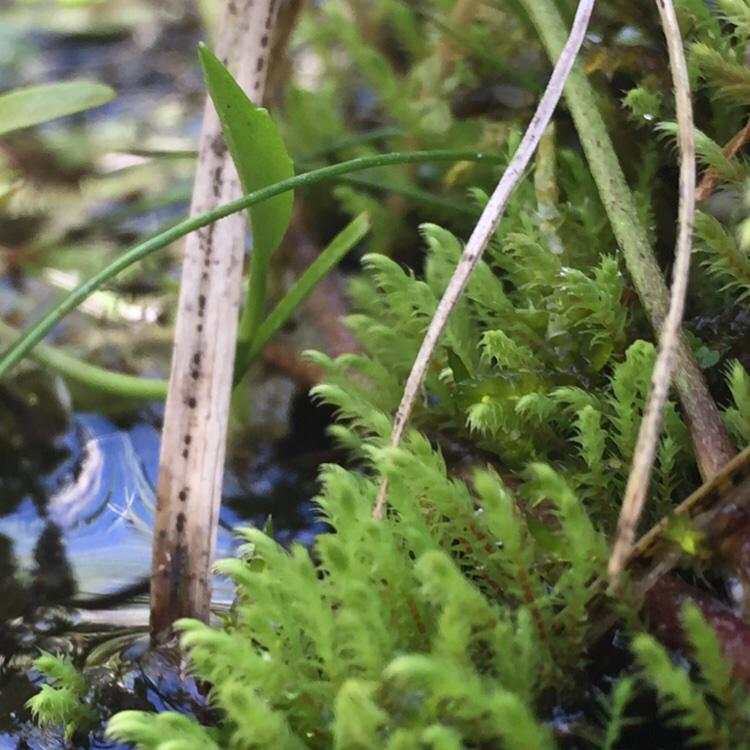 Foto/billede af Kalk-Vandtuemos (Philonotis calcarea)