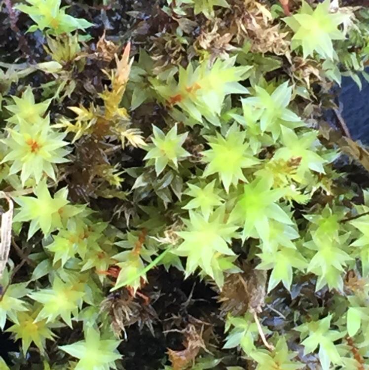 Foto/billede af Nedløbende Bryum (Bryum pseudotriquetrum)