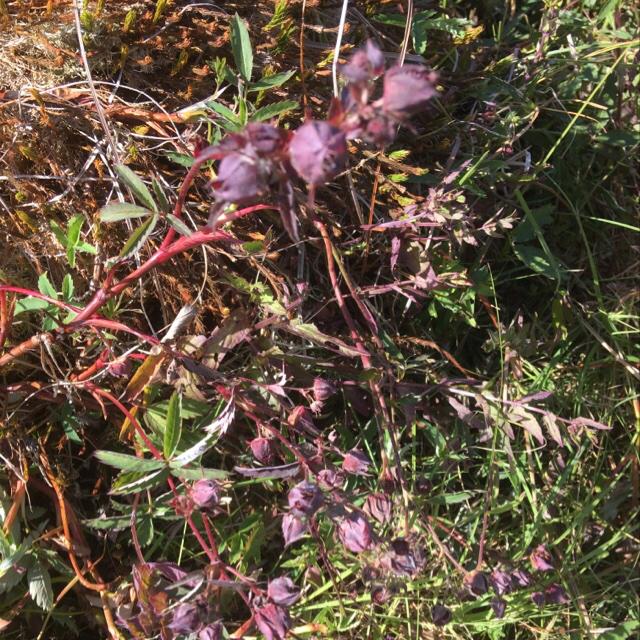 Foto/billede af Kragefod (Comarum palustre)