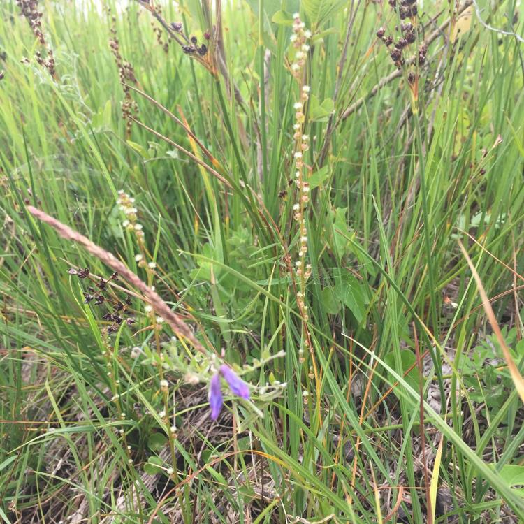 Foto/billede af Kær-Trehage (Triglochin palustris)
