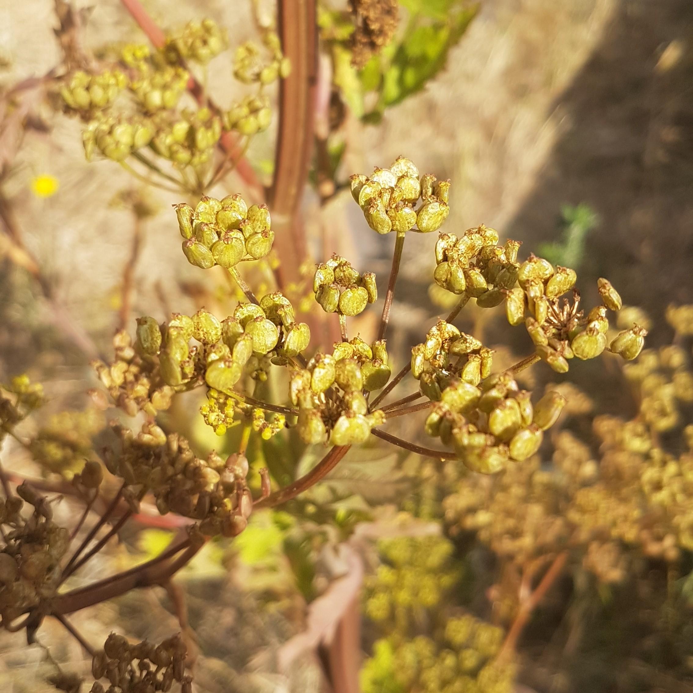 Foto/billede af Almindelig Pastinak (Pastinaca sativa ssp. sativa)