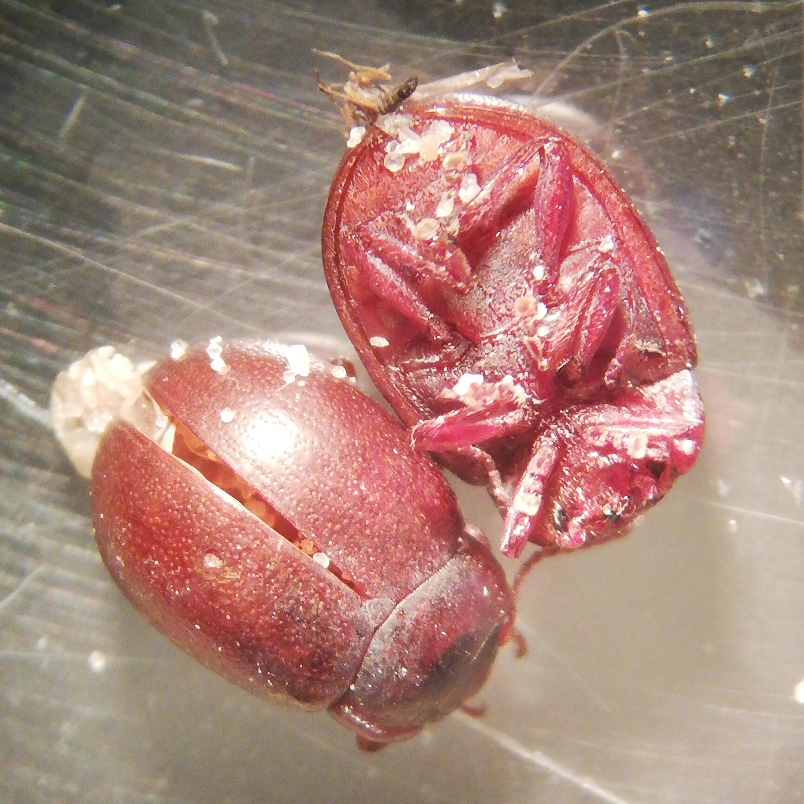 Foto/billede af Chrysolina staphylaea (Chrysolina staphylaea)