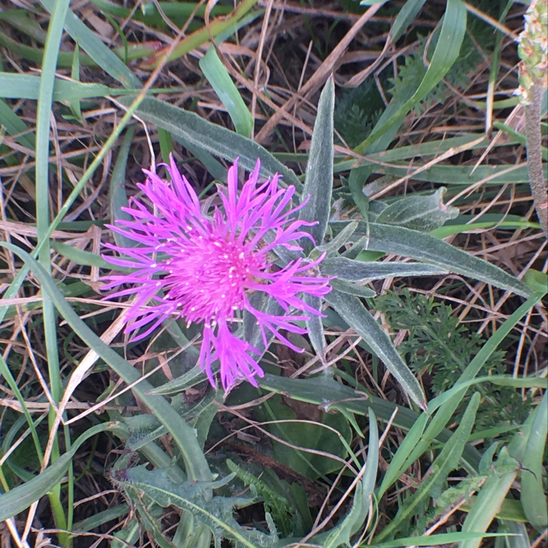 Almindelig Knopurt (Centaurea jacea)