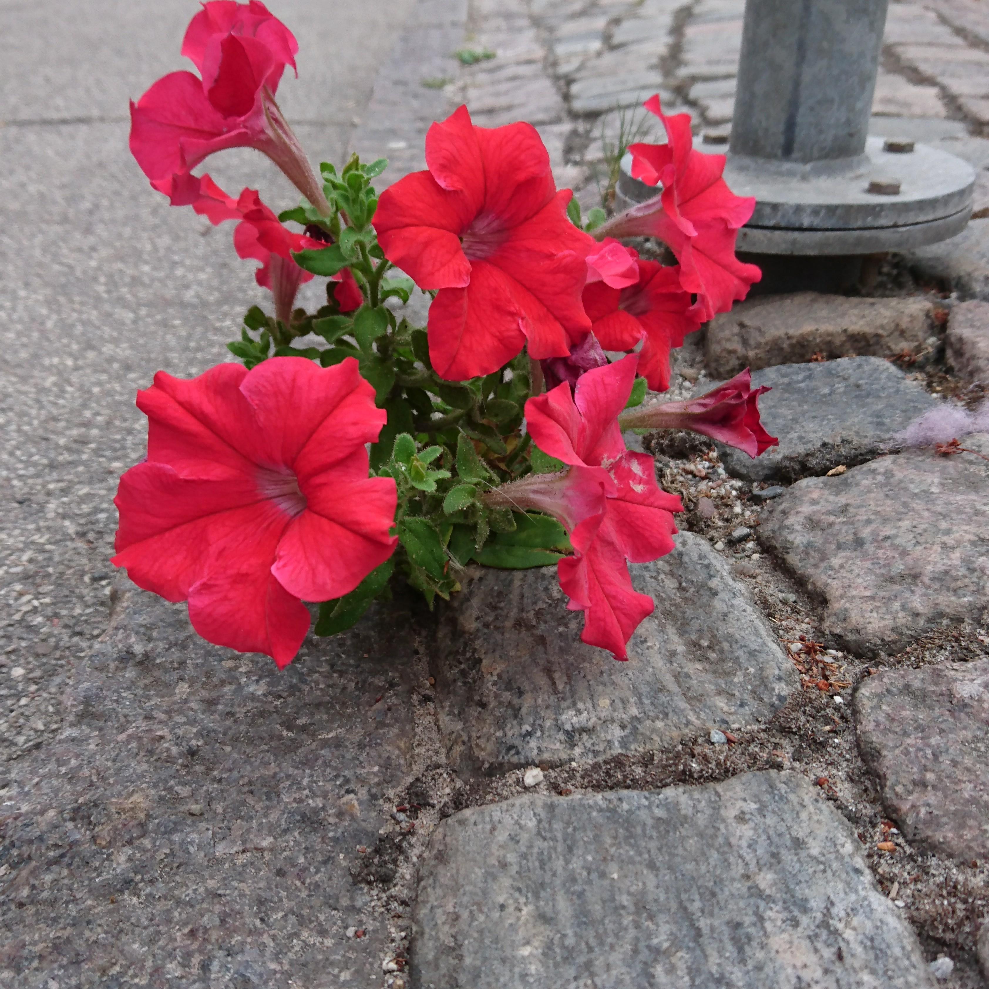 Foto/billede af Have-Petunia (Petunia x hybrida)