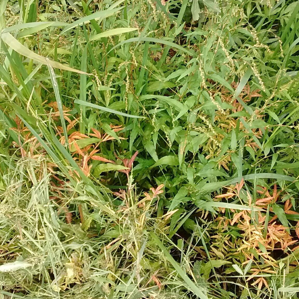 Foto/billede af Bidende Pileurt (Persicaria hydropiper)