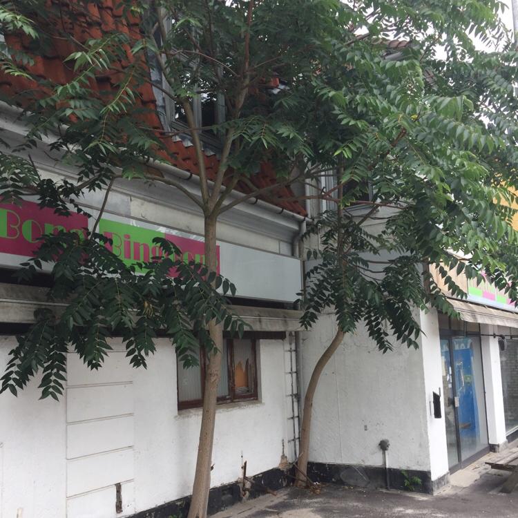 Foto/billede af Skyrækker (Ailanthus altissima)