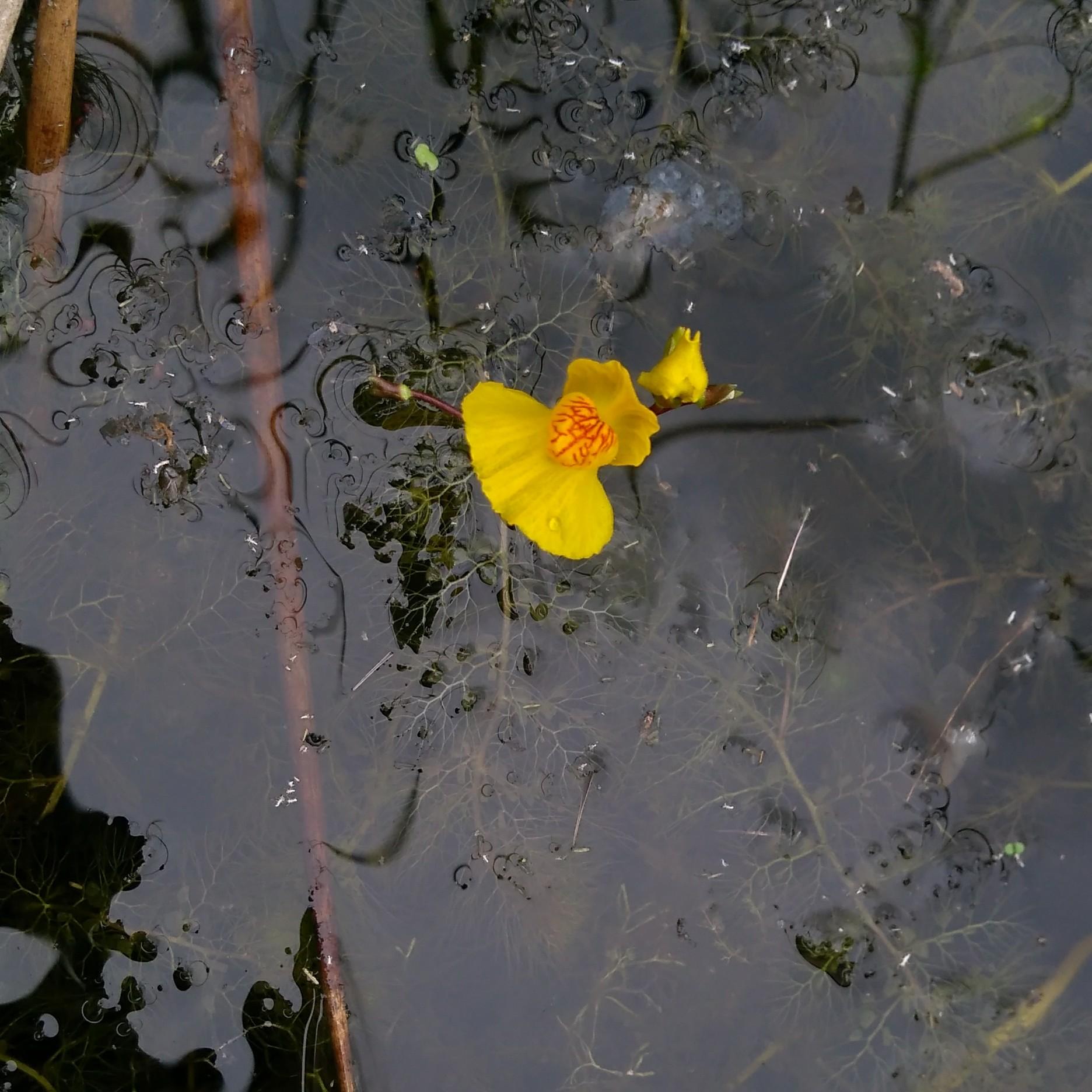Foto/billede af Slank Blærerod (Utricularia australis)