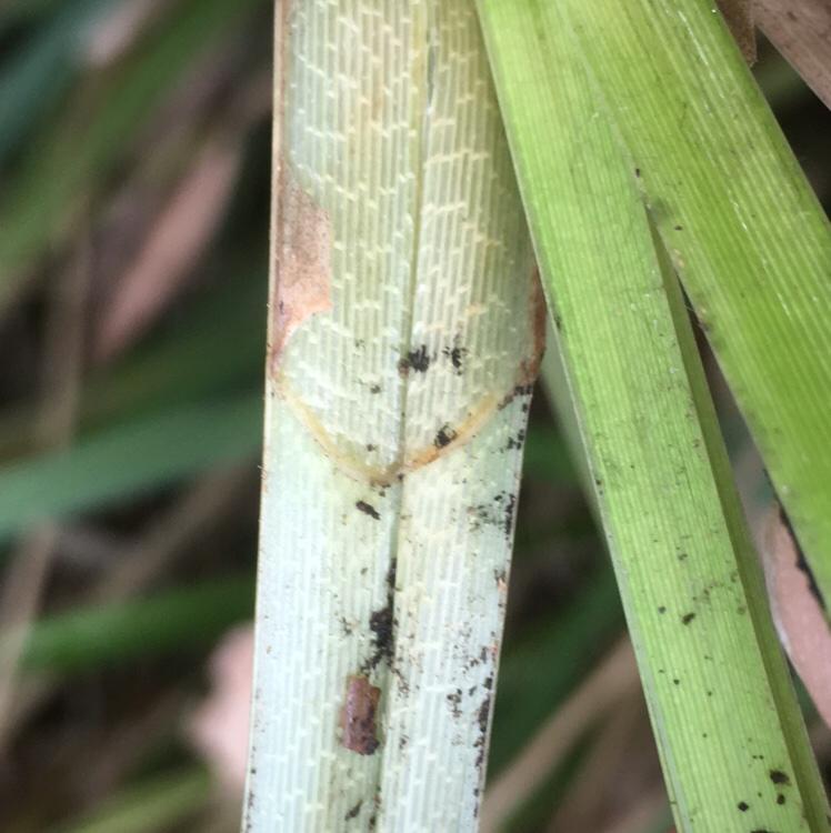 Foto/billede af Tykakset Star (Carex riparia)