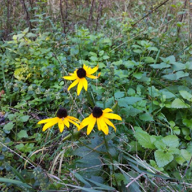 Foto/billede af Stråle-Solhat (Rudbeckia fulgida)