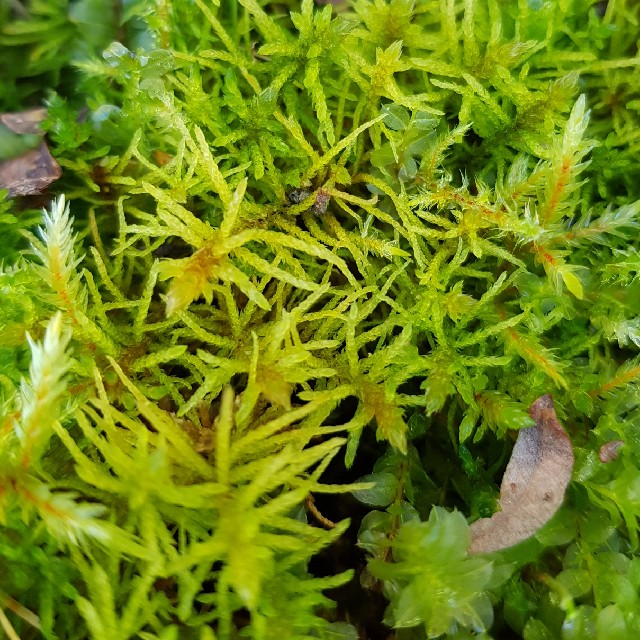 Foto/billede af Kær-Gyldenmos (Helodium blandowii)