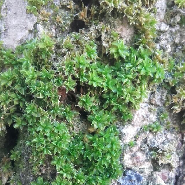 Foto/billede af Bark-Hårstjerne (Syntrichia papillosa)