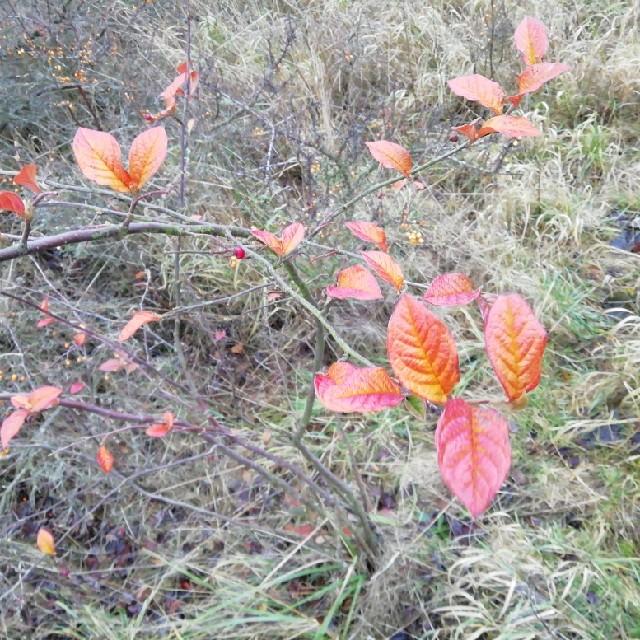 Foto/billede af Buklet Dværgmispel (Cotoneaster bullatus)