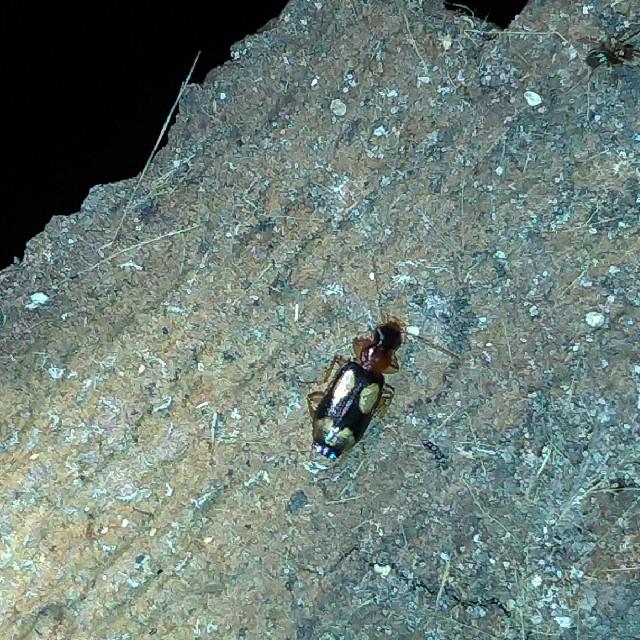 Foto/billede af Fireplettet Barkløber (Dromius quadrimaculatus)