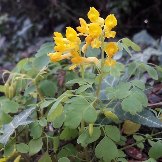 Foto/billede af Gul Lærkespore (Pseudofumaria lutea)