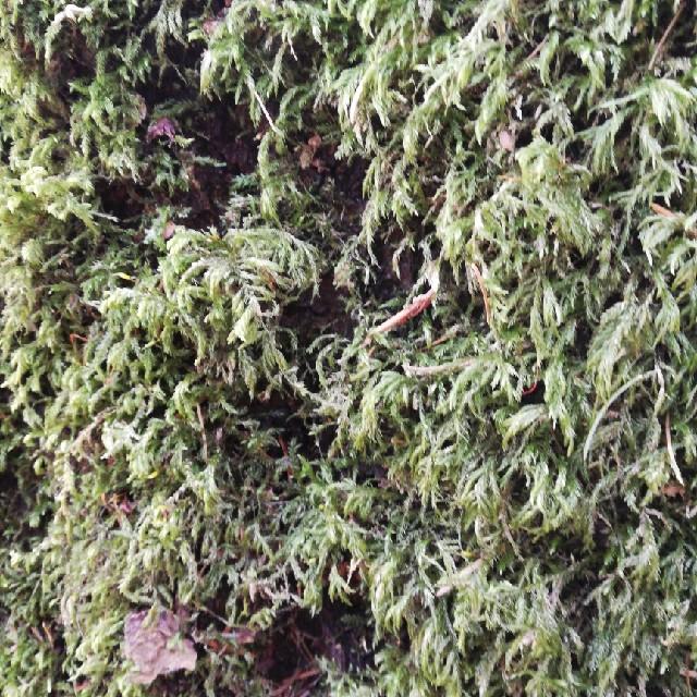 Foto/billede af Stor Stammemos (Isothecium alopecuroides)