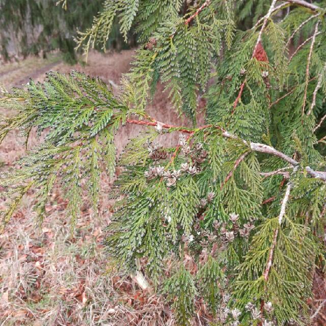 Foto/billede af Ædelcypres (Chamaecyparis lawsoniana)
