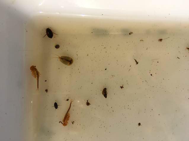 Hydroporus fuscipennis (Hydroporus fuscipennis)