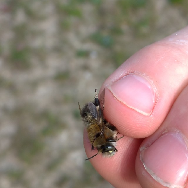 Foto/billede af Forårsvægbi (Anthophora plumipes)