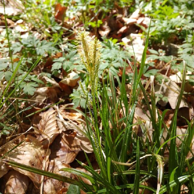 Skov-Star (Carex sylvatica)
