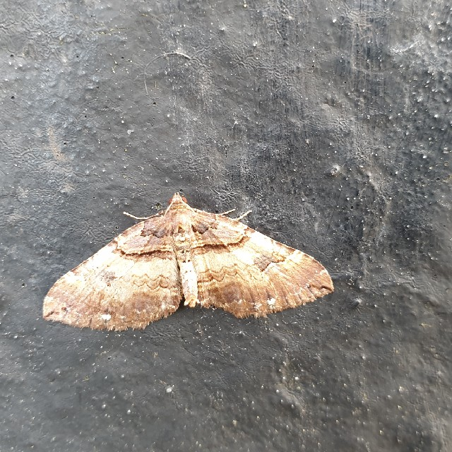 Foto/billede af Brungul Bladmåler (Earophila badiata)